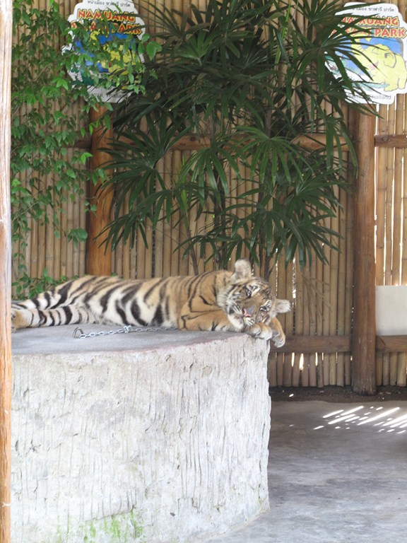 The Tiger Cub Relaxing