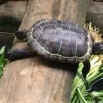 Resting Turtles
